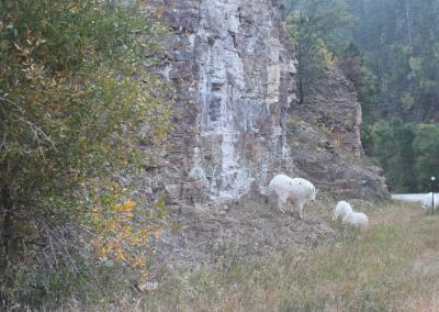 Mountain goats in canyon
