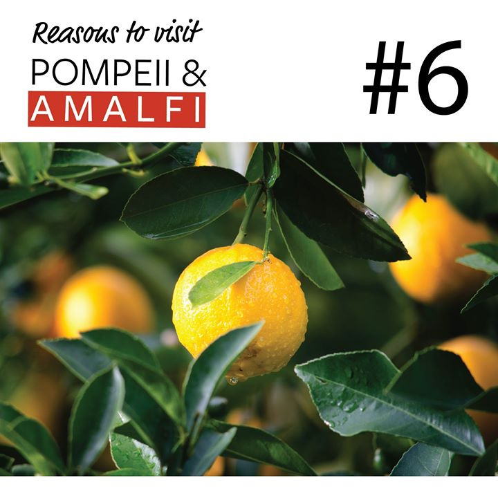 Reason #6 to Discover Pompeii & Amalfi this October.  Limoncello - When you see the size of the lemons growing in Amalfi (think the size of grapefruits – yes really) you will know why the ubiquitous sweet liqueur tastes so good.